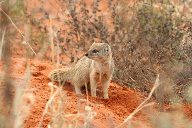 Южноафриканский мангуст (galerella pulverulenta) engl. cape grey mongoose, small grey mongoose. мангустовые южноафриканский мангуст